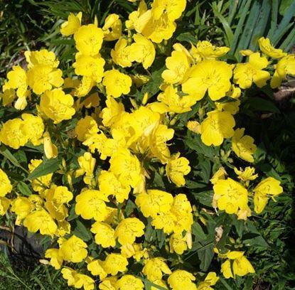 цветущая энотера желтая цветок ночная свеча ослинник
