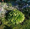 купить хосту с тонкими, узкими листьями Киев, Украина доставка
