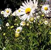 ромашка осеняя купить, нивяник обыкновенный крупноцветковый