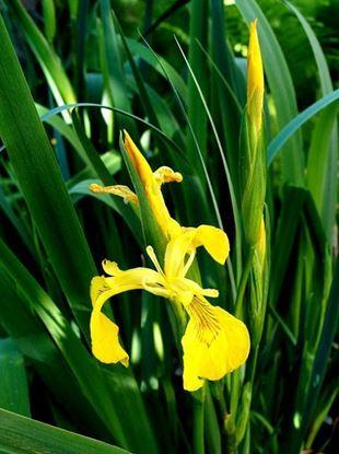 ирис желтый болотный, болотный ирис аировидный купить, ирис аировидный
