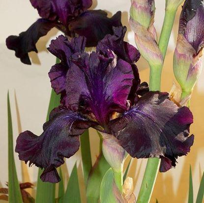 крупноцветковые ирисы купить киев Украина доставка