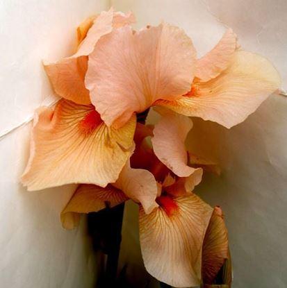 доставка ирисов цветов по украине от производителя