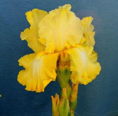 купить крупно-цветковый желтый кружевной ирис от производителя украина