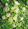 очиток седум с белыми цветами