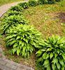 купить хосту ланцетолистную украина доставка, хоста с узкими листьями