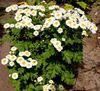 мелкие ромашки белые с желтой серединкой купить украина киев пиретрум