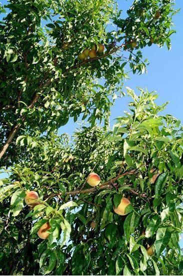 обрізка дерев, обрезка деревьев, садовник киевская область, садовник ирпень, садовник бородянка