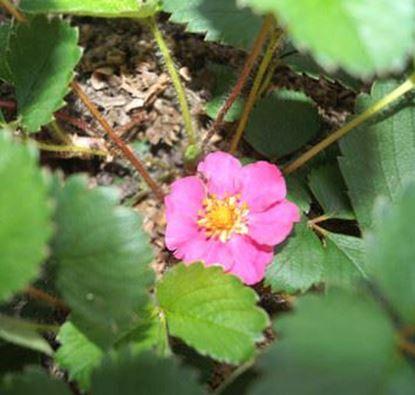 Изображение Клубника с розовыми цветами