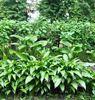 купить садовые растения почтой украина